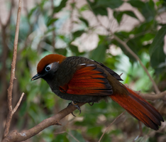 Red-Tailed Laughing Thrush by KateJones92