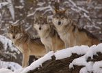 Tres lobos by Karl-B