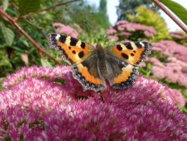 Small Tortoiseshell Butterfly on Sedum on Campus by SrTw