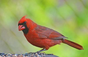 Male Cardinal 4-30-12 by Tailgun2009