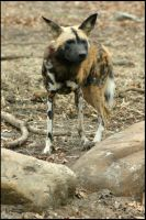 African Wild Dog by PBPhoenix