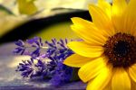 Sunflower with Lavender by mqRina