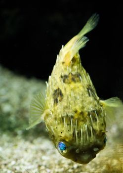 Blue Eyed Puffer by Maltese-Naturalist