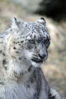 Snow Leopard Portrait by 8TwilightAngel8