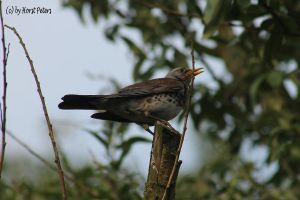 Wacholderdrossel Fieldfare 4 by bluesgrass