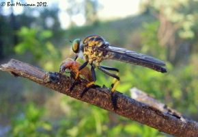 Robber Fly Feast by BreeSpawn
