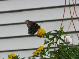 Red spotted purple Butterfly 1 by lunafox90