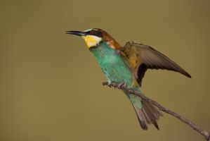 Bee-eater by JMrocek