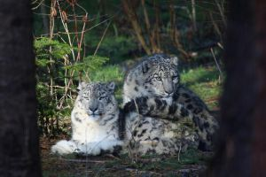 Snow Leopards by bribesdemoi