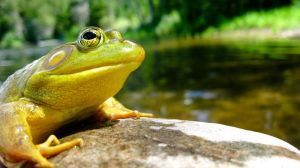 Anatole the bullfrog by TortueBulle
