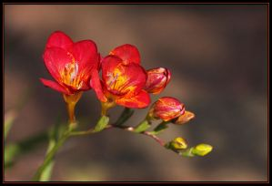 Freesia Time Again.. by Firey-Sunset