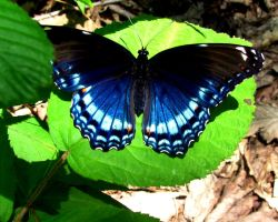 Blue Butterfly by Rissalea