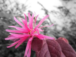 Pink Flower - Edited by quickwing23