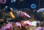 Quillback, Tiger and Copper Rockfish by AmongTheFirst