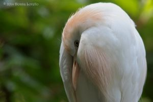 Cattle Egret Resting by arcadian7