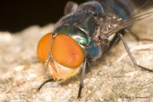 Calliphoridae really close up by dllavaneras