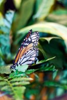 Monarch Butterfly - 5 by creative1978