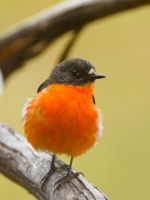 Male Flame Robin on guard by jmbamboosumi