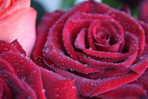 Dew on a rose by Frienddesign