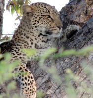 Leopard by AfricaWild