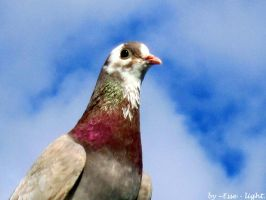 pigeon by Esse-light