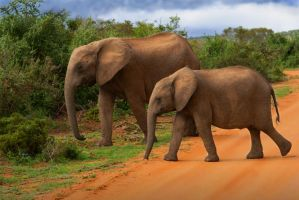 addo elephants by NicolasM