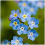 forget me not by joannastar