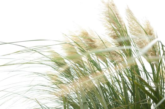 cortaderia pampas grass by LayneLitha