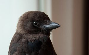 Young Jackdaw by Skia