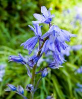 Bluebells by LilPeteMordino