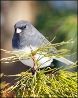 Junco by sunflowervlg