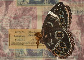 Brown Morpho by MollyD
