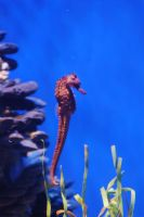 sea horse by theFATpirate