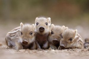 Napping Piglets by nele102