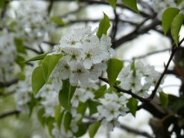 White Blossom by LW-Lucy
