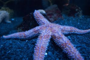 Temperate Seastar by FluffyFawn