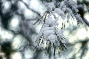 Pine needle under snow by Tjabula