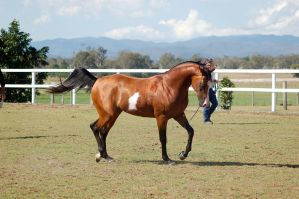 GE arab pinto trot on the bit side dainty by Chunga-Stock