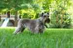 Miniature Schnauzer VIII by LDFranklin