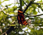Orange Butterfly by Katiemarie
