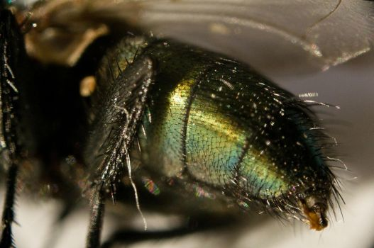 A fly...up close 10 by Egg-Salad