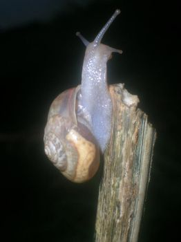 Snail male female by Mother-Of-Miazzy