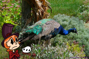 Peacock and a peacock by Luckynight48