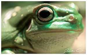 Green Tree Frog by jaydoncabe