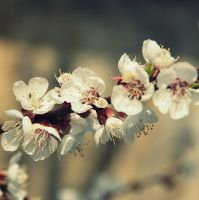 Apricots blossom by black-ladybird