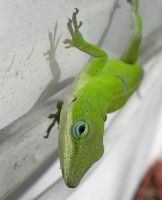 Carolina  Anole by Serendith