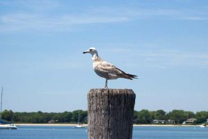 Seagull by nighthawk