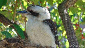 Laughing Kookaburra by OnlyNature