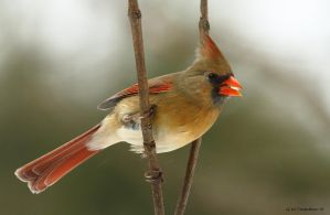 Female cardinal enjoying some seed by natureguy