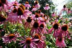 Echinacea Purpurea by hairyyetiman